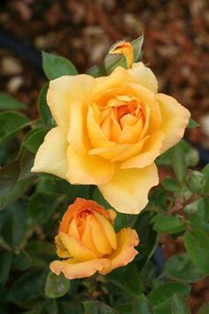 'Oregold' - Hybrid Tea