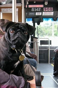 pug on the bus Pug Life, Pugs, French Bulldog, Awesome, Animals, Animales, Animaux, French Bulldog Shedding, Bulldog Frances