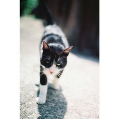 . 懐っこい白くつしたさん。 目付き悪いわーこれ。どうしたこれ。 撫でろや言うとる。 撫でろやわれーぼけーかすーぐるぐる #eri_film #eri_film_y #carlzeiss #猫 #まさこの旅in御手洗 #奇跡のピント