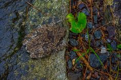 We're still seeing these gray tree frogs. Do you see the one in this picture (or did you think I just posted a picture of a rock!?) hehe ;) #frogs #vermont #nature #wildlife