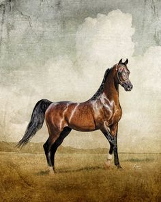 A once-in-a-lifetime horse, Thee Desperado conquered the nation's most important shows, yet his accomplishments as a sire were even more impressive. His sons and daughters are national champions across the globe, and his lifetime breeders were blessed with his valuable foals for two decades. His legacy will live on…