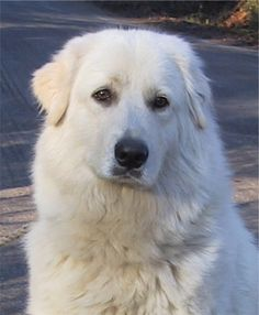 Maremma sheepdog........such a sweet and loving looking dog. Needs a big hug!!
