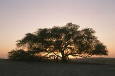 Great Trees-the Tree of Life is found in the middle of a desert in Bahrain, miles from any other living organism or source of water. It is a 400-year-old mesquite tree,