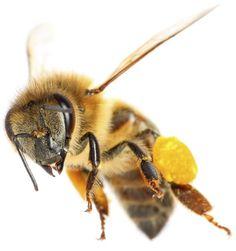 A bee's pollen baskets