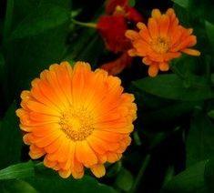 Calendula, Flowers, Plants, Turmeric, Plant, Royal Icing Flowers, Flower, Florals, Floral