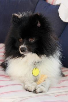 Black and White Pomeranian #pomeranian