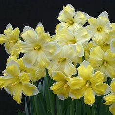 'Cassata' ist eine große, grazile Narzisse in zartem Gelb und Weiß. Pflanzzeit ist im Herbst - online bestellbar bei www.fluwel.de
