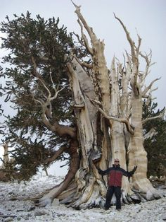 Visit the single oldest living thing on Earth. it's a tree a 4700 year-old bristle cone pine tre. #Relax more with healing sounds: