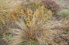 Turzyca Buchanana (Carex buchananii) 'Red Rooster'