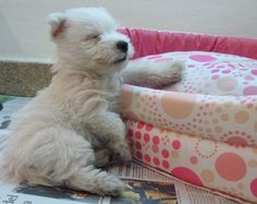 Mona westie - first day at home and falls asleep half standing. So precious!