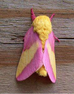 Mariposa -uau