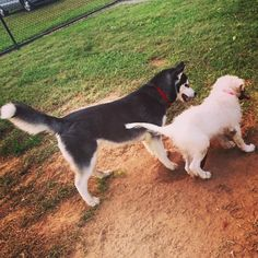 Making new friends at Dog Town Playground at Kiwanis Park! - Cape Girardeau, MO - Angus Off-Leash #dogs #puppies #cutedogs #dogparks #capegirardeau #missouri #angusoffleash