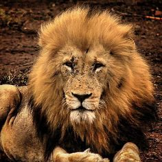 #safari #singita #travel #wildlife #lion #beauty #favorite #passtime #nature #king #passion #adventure #travelexperience#memories#gamedrive #love #Africa #chillin