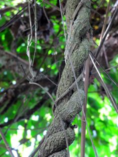Ayahuasca (Banisteriopsis Caapi); The sacred vine of Mother Earth