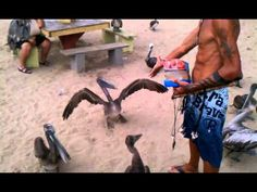 The 'Pelican Man' has trained forty pelicans to dance at Crash boat beach in Aguadilla, Puerto Rico! He knows their names, their stories, their mates, and loves to talk about them. Visit in the late afternoon to watch the show! Puerto Rico, Enchanted Island, Places To Go, Names, Boat, Travelling, Dance, Character, Stuff Stuff