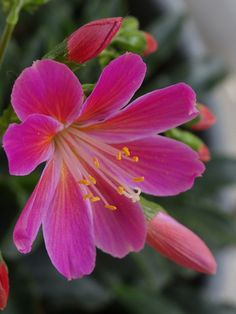 """""""Lewisia Cotyledon"""" photo by Stella Trooster 