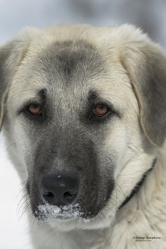 Anatolian Shepherd Dog Dog Breed Information, Popular Pictures Large Dog Breeds, Large Dogs, Really Big Dogs, Kangal Dog, Anatolian Shepherd, Mountain Dogs, Terrier Dogs, Dog Accessories, Dog Photos