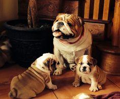 Beautiful Bulldog Family