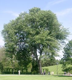 American Elm - Might be great for shade in pastures....Fast grower - do more research.