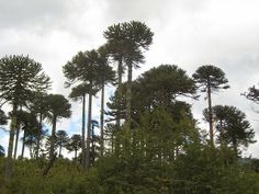 The majestic Araucaria trees, some of them over 1,000 years old, and a great bilingual post. Read more.