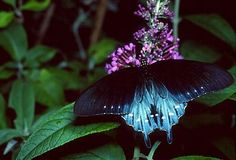 """""""Battus philenor, the gorgeous Pipevine Swallowtail is found throughout much of the country."""""""
