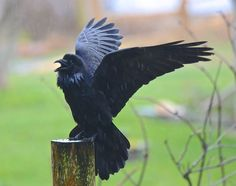 Your Daily Raven - via Wendy Davis Photography FB
