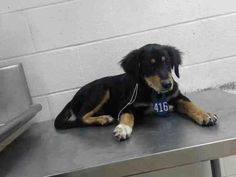 DAMON - ID#A468165 - URGENT - Harris County Animal Shelter in Houston, Texas - ADOPT OR FOSTER - 4 MONTH OLD Male Australian Shepherd mix - at the shelter since Sep 14, 2016.