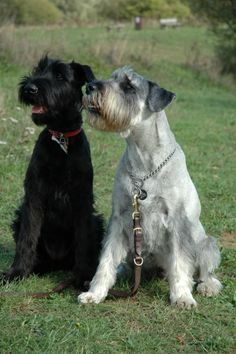 Standard Schnauzers  I have two.... just like this, salt and pepper and black!  Just love them!!