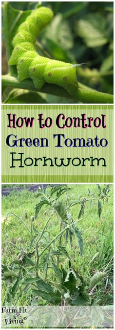 How to control green tomato hornworm Garden Insects Vegetable Gardening Tomato Gardens