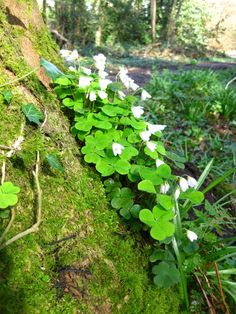 Shamrocks growing freely in Ireland. May your blessings out number the Shamrocks that grow and may trouble avoid you wherever you go