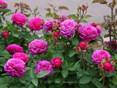 sommersonne kordes roses and the other roses pinterest. Black Bedroom Furniture Sets. Home Design Ideas