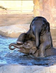"""baby elephants playing in water. All About Elephants, Elephants Never Forget, Save The Elephants, Baby Elephants, Elephants Playing, The Animals, Cute Baby Animals, Funny Animals, Wild Animals"