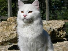 Turkish Vankedisi Cat