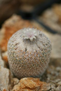 Epithelantha fungifera