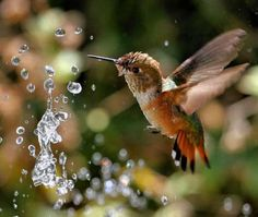 Hummingbird, Fountain Dancing 2007