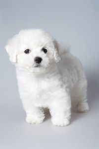 teacup havanese Moore-when it& winter-I think she will look like a little snowball! The post teacup havanese Moore-when it& winter-I think she will look like a litt& appeared first on Haiden Hounds. Havanese Puppies For Sale, Havanese Dogs, Cute Dogs And Puppies, I Love Dogs, Small Dog Breeds, Small Breed, Little Dogs, Fur Babies, Dog Cat