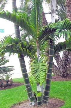 Dypsis lanceolata (Ivovowo Palm) - native to Comoro Islands - grows to 6m