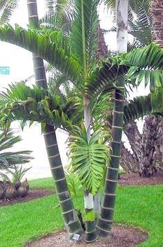 Dypsis lanceolata (Ivovowo Palm) - native to Comoro Islands - grows to 6m
