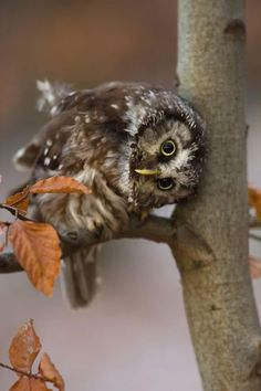 or, Saw Whet owl? Tengmalm's Owl by Milan Zygmunt Animals And Pets, Baby Animals, Funny Animals, Cute Animals, Wild Animals, Owl Photos, Owl Pictures, Beautiful Owl, Animals Beautiful