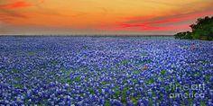 Texas Photograph - Bluebonnet Sunset Vista - Texas Landscape by Jon Holiday