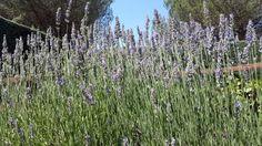 #lavanda  Utilizamos su aceite esencial en muchos de nuestros productos por sus propiedades relajantes, equilibrantes y calmantes #lavender #madrid