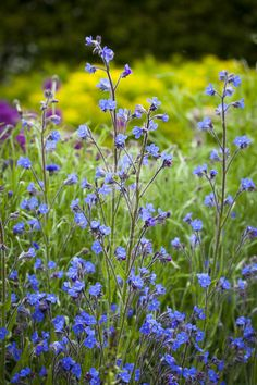 Anchusa azurea 'Dropmore' is one of my favourite edible flowers for salads and ice cubes.