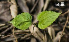 • Plantas - Morus, mais conhecida como amoreira, são plantas nativas das regiões temperadas e subtropicais daÁsia. Se desenvolvem em todo o Brasil e apresentam crescimento rápido, adaptando-se a qualquer tipo de solo, preferindo os úmidos e profundos. 📷 by Leandro Floriano Download da imagem no #iStock: https://www.istockphoto.com/photo/flores-verdes-em-um-campo-de-folhas-secas-gm596797890-102291673  #flower #leaf #garden #forest #jungle #home #environment #nature #ecology #biology #Asia