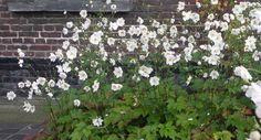 Afbeeldingsresultaat voor anemone honorine jobert
