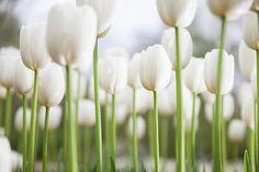 White Tulips, Spring Blossom, Fragrance, Vegetables, Bulbs, Celebration, Google, Lightbulbs, Vegetable Recipes