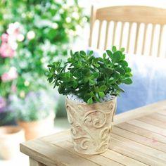 Crassula Ovata, Planter Pots, Garden, Garten, Lawn And Garden, Gardens, Gardening, Outdoor, Yard