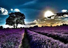 levander field
