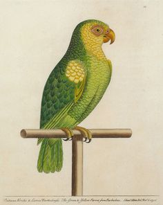 Eleazer Albin - The Green & Yellow Parrot from Barbadoes