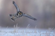 Hawk Owl, Finland - by Jari Peltomäki Photography Tours, Wildlife Photography, Owl Photos, Bird Watching, Bird Feathers, Finland, Safari, Photo Galleries, Birds