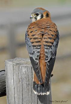 American Kestrel - back and tail | BirdNote